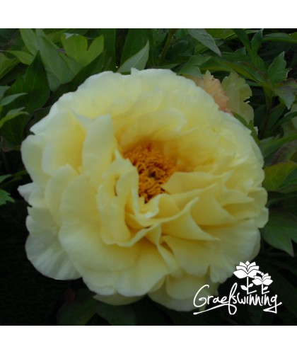 Tree peony Age of Gold