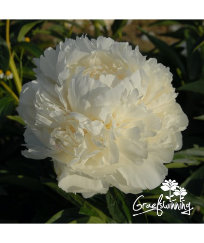 Peony Bowl of Cream