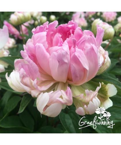 Pivoine Pink Jitterbug