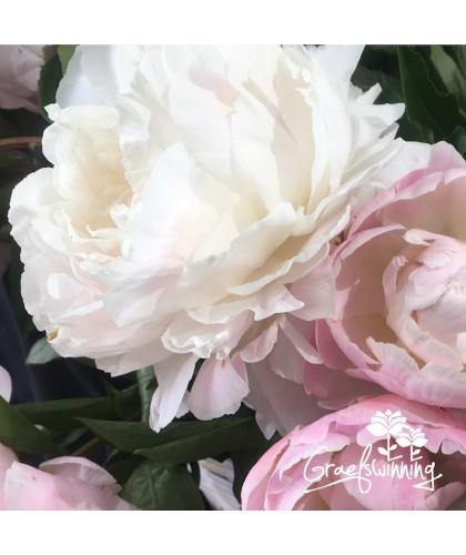 5 Pivoines - Collection fleurs coupées en pots 7L