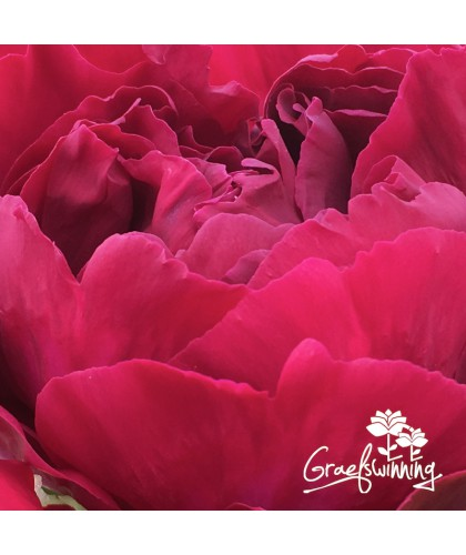 7 Pfingstrosen - Blumenstrauß - Purer Luxus Kollektion in 7L Töpfe