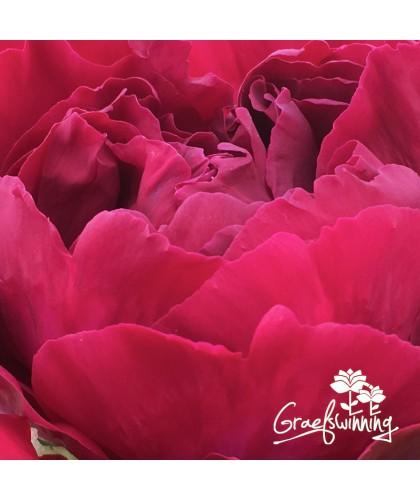 7 Pivoines - Collection fleurs coupées - Pur Luxe - en pots 7L
