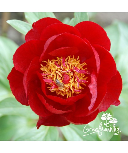 Peony Red Red Rose