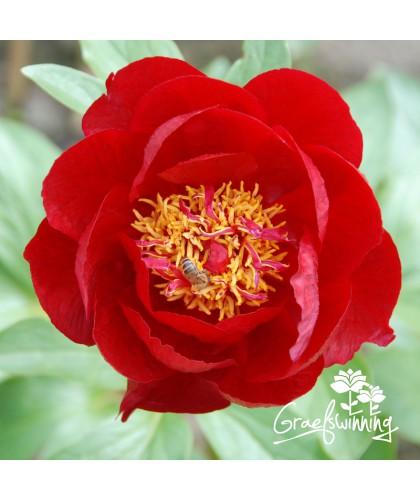 Pfingstrose Red Red Rose