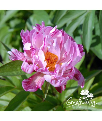 Pivoine Pink Spinners