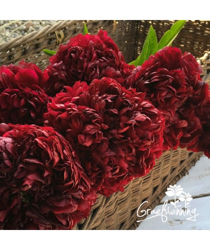 Cut Flowers Peony Red Grace