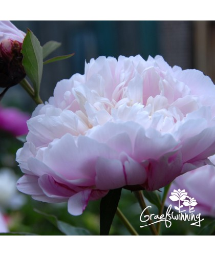Peony Sweet Rewards
