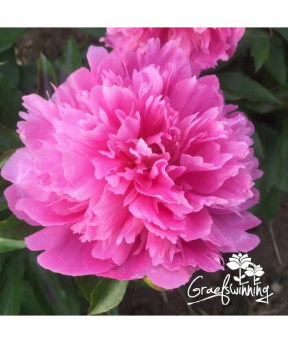 Peony Fragrant Pink Imp