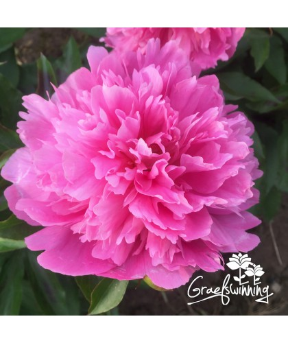 Pivoine Fragrant Pink Imp