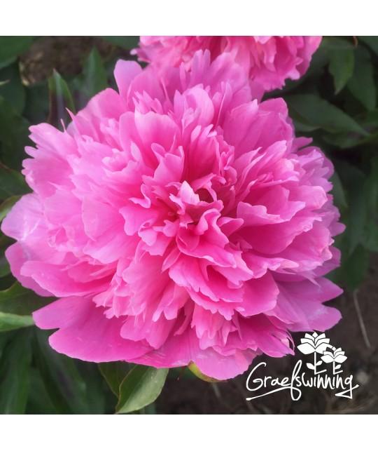 Pioen Fragrant Pink Imp