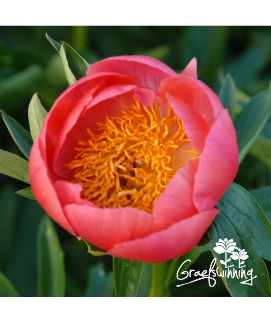 Peony Coral 'n Gold