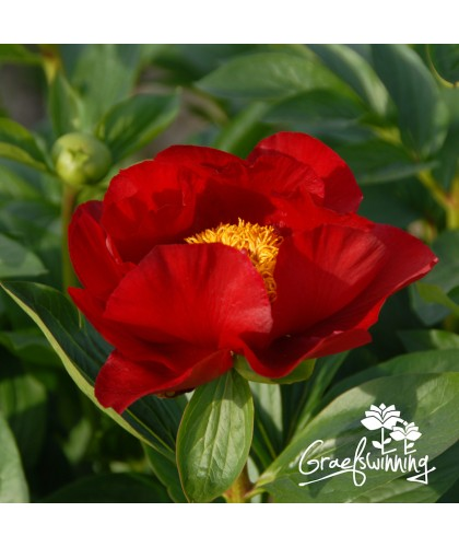 Peony The Mackinac Grand