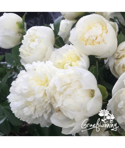 Peony trio for the cottage garden