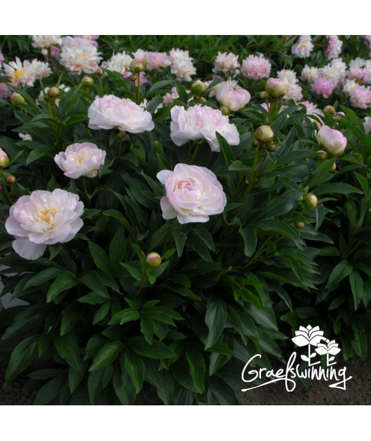 Peony Love's Touch