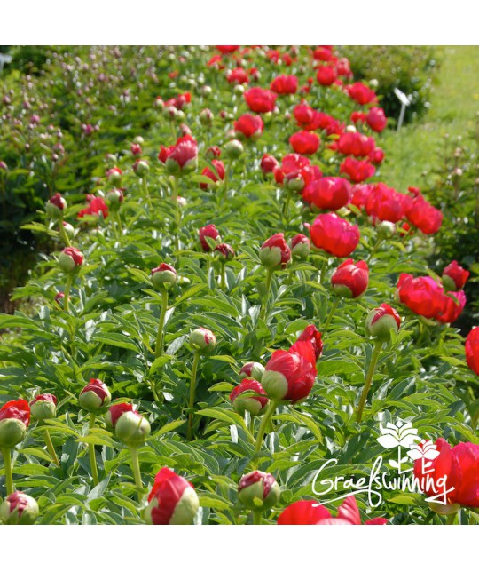 Peony montezuma strong long stems hold single to semi double bright vermillion red flowers with a generous tuft of yellow stamens in the centre elegant landscape plant and mightylinksfo