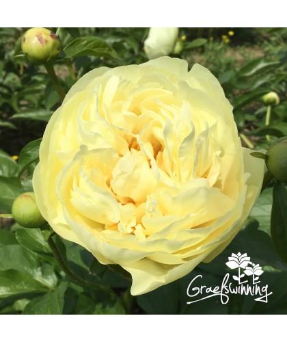 Pivoine Lemon Chiffon