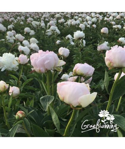 Pfingstrose Gardenia