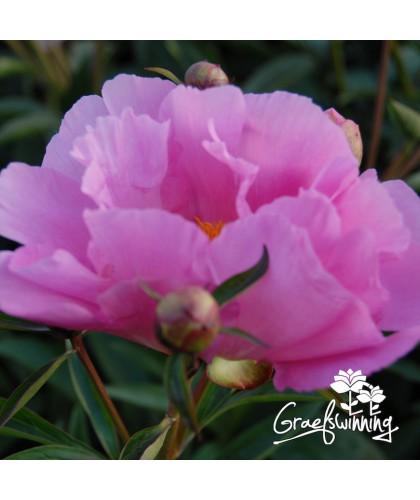 Pivoine Dawn Pink