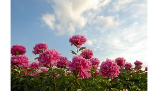 Shop peonies at a peony nursery