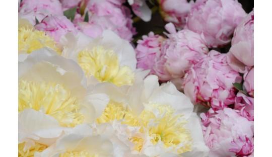 Pfingstrosen Gartenblumenstrauß