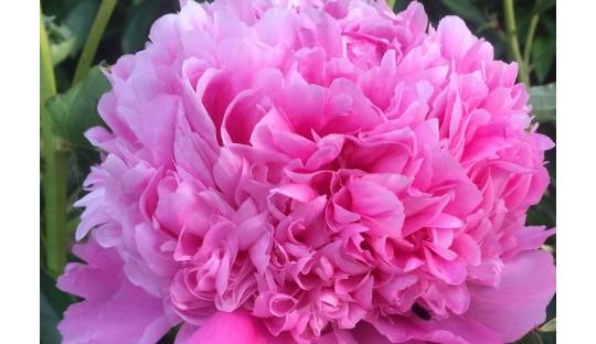 extragroße Pfingstrosen Blüten