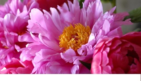 Pivoines fleurs insolites