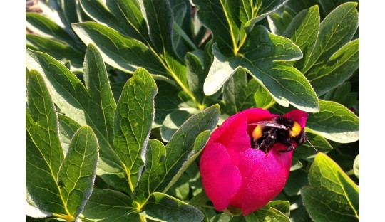 Pfingstrosen für die Bienen