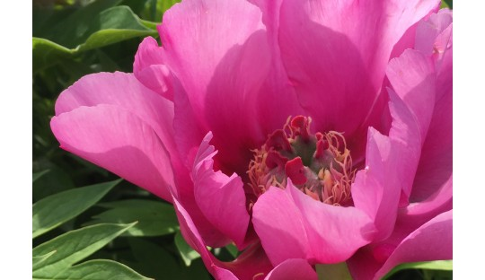 The best selections are granted the American Peony Society Award of La