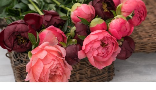 Pivoines disponibles