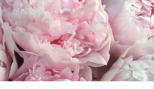Peonies for your cutting garden