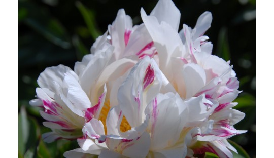 Top peonies for beginners