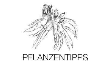 Pfingstrosen Pflanzentipps