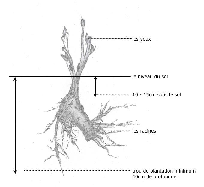 pivoine arbustive plantation